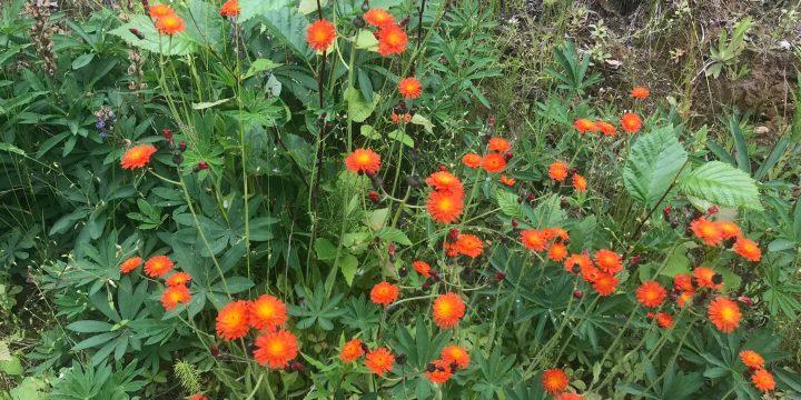 Orange hawkweed treatment July 17
